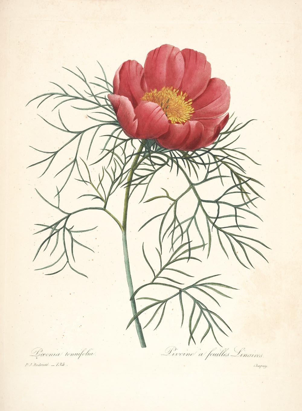 Pierre'o-Josepho Redouté  (1759–1840) piešiniai