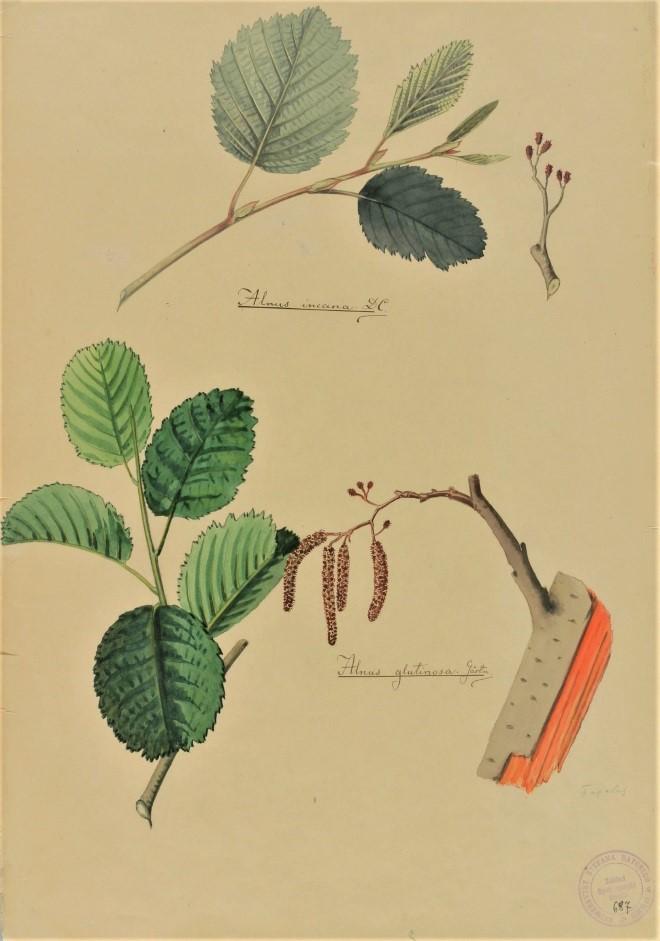 Stepono Batoro universiteto botaniko Konstantino Prošinskio XXa. pradžioje pieštas paveikslas vaizduoja baltalksnio ir juodalksnio šakeles su žirginiais ir lapais